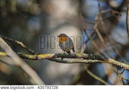 Garden Birds. Robin Erithacus Rubecula Sitting On A Tree Branch.
