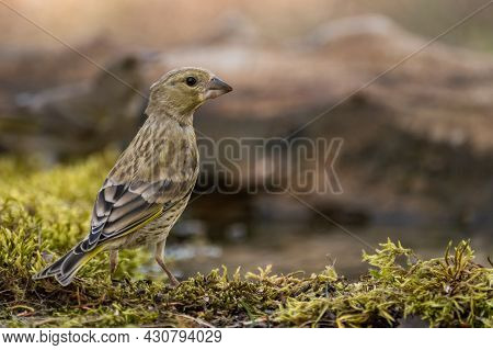 Young European Greenfinch Chloris Chloride Or Common Greenfinch Is A Small Songbird.
