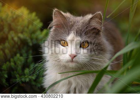 Short Hair Cat Modeling Photo. Adorable Exotic Cat Portrait.