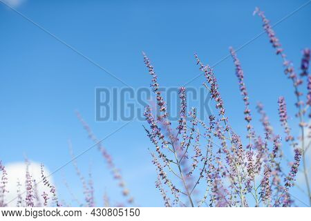 Lavender Flowers In The Summer, Bottom View, With Selective Focus. Shallow Depth Of Field. Blue Sky