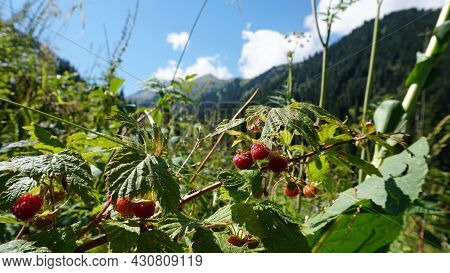 Ripe Red Mountain Raspberries With View Of Forest