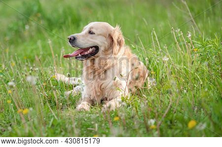 Golden retriever dog lying in green grass outdoors in sunny day in summer time and looking back. Adorable doggy pet resting during walk outside