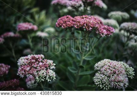 Summer Flowers, Pistil And Stamen. Beautiful Decorative Pink And White Garden Flowers Close-up. Flow