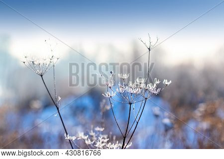 Frost-covered Stalks Of Dried Plants In The Meadow In Winter On A Blurred Background, Winter Backgro