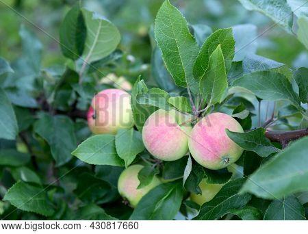 Apple Tree With Ripe Apple Fruit. Ripe Apples Growing On Apple Tree Branch. Apple On Tree After Rain