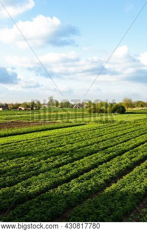 A Beautiful View Of Countryside Landscape Of The Potato Fields Of Southern Ukraine. Agroindustry And