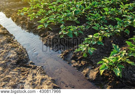 Irrigation Canal With Water On A Farm Plantation. Watering The Plantation Field. European Organic Fa
