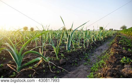 Leek Plantation In A Farm Field. Industrial Cultivation And Food Production. Agriculture Landscape.