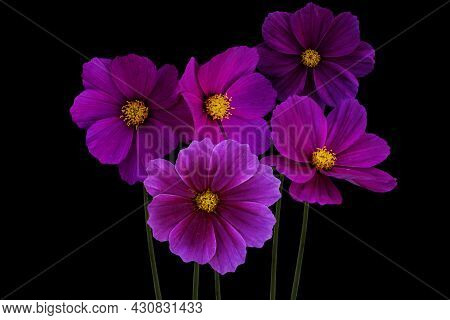 Summer Flowers, Pink Cosmos Flowers, Isolated On Black Background - In Latin Cosmos Bipinnatus