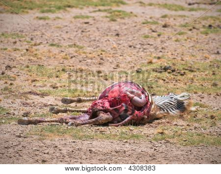 Dead Zebra, Amboseli National Park, Kenya