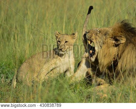African Brown Lion And Cubs Cuddling And Showing Affection Iin A Game Reserve