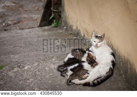 Selective Blur On A Young Mother Cat Nursing Her Kitten Litters, Nurturing Her Young Offspring Of Ca