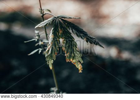 Dying Cannabis Plant Close Up View . Drug Harvest Concept
