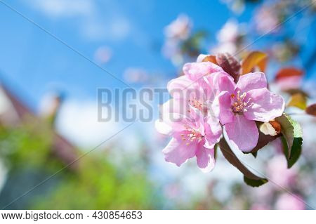 Branches Of Blossoming Pink Apple Tree Macro With Soft Focus Against The Background Of Gentle Greene