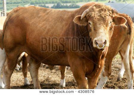 Muscular Bull