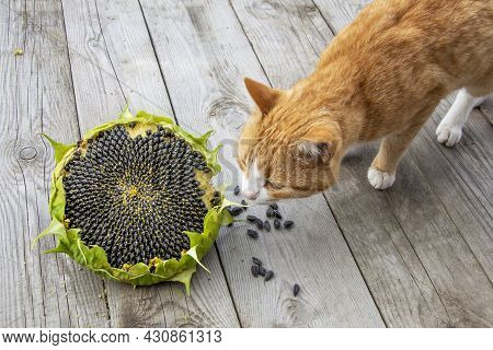The Cat Is Sniffing A Yellow Flower On A Wooden Background. Sunflower And Ginger Cat. Ripe Sunflower