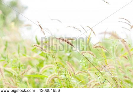 Meadow Field With Fluffy Grass. Summer Spring Natural Landscape. Green Landscape Background For A Po