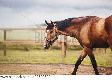 A Beautiful Bay Horse With A Halter On Its Muzzle Grazes In A Paddock On A Farm With A Wooden Fence