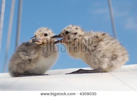 Seagull Chicks Chatting