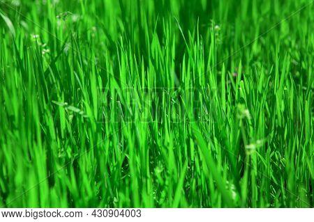 Nature Green Grass Background . Natural Springtime Color