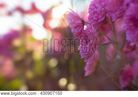 Pink Chrysanthemums Autumn Garden. A Flower Bed In Bright Sunlight. Beautiful Abstract Background Of