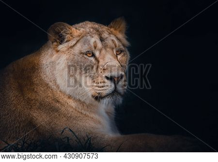 An Atmospheric Portrait Of A Female Asiatic Lion.  Currently Listed As Endangered Because It Can Onl