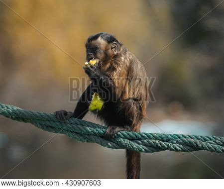 A Capucin Monkey Having Lunch. Also Known As The