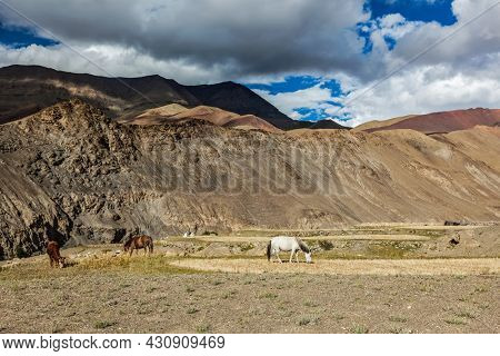 Horses and cow grazing in Himalayas. Rupshu Valley, Ladakh, India