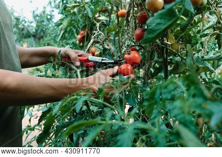 a young caucasian man collects ripe tomatoes with a pair of pruning shears in a plantation