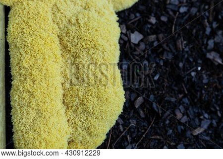 Fuligo Septica Slime Mold In A Garden Bed Growing On Dark Mulch, Yellow Dog's Vomit Slime Mould, Cop