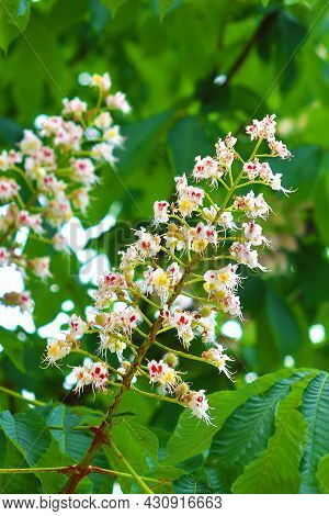 Branch Of Chestnut, Close Up. White Chestnut Flowers Against The Background Of Lush Green Leaves