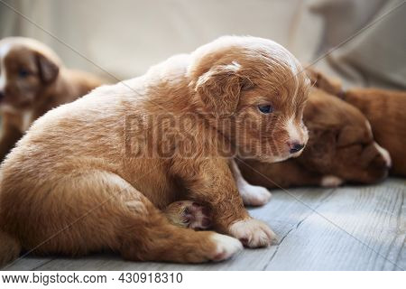 Group Of Cute Puppies Resting At Home. Breeding Of Nova Scotia Duck Tolling Retriever.