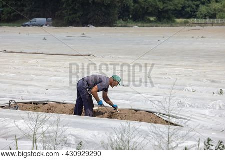 Lottum, The Netherlands - June 19, 2021: Seasonal Worker Busy With Harvesting Asparagus In Dutch Agr