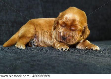 English Cocker Spaniel, Golden Puppy Week Old On Sofa. Little Golden Cocker Spaniel On A Black Mat.