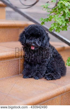 Dog Sitting On Stairs, Relax Pet, Poodle Terrier Sit Down Looking, Smile Poodle Dog, Dog Sit Down On