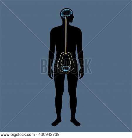 Micturition Neural Control Function In Male Silhouette. Signals From Brain To Bladder In The Human B