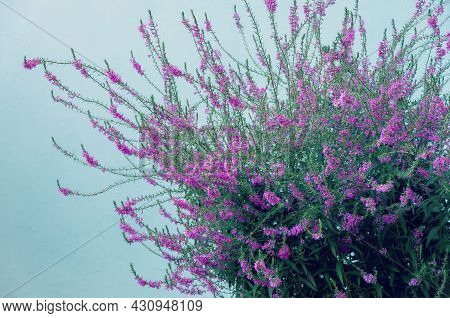 Beautiful Bright Lilac-pink Bunch Of Common Heather Calluna Vulgaris On A Lite Blue Background