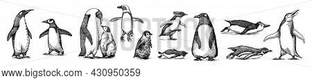 Emperor Penguin Colony. Adult With Juveniles. Small Family Set. Vector Graphics Black And White Draw