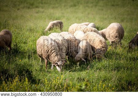 Selective Blur On A Flock And Herd Of White Sheeps, With Short Wool, Standing And Eating In The Gras