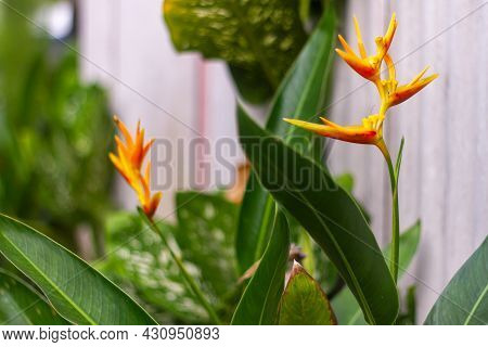 The Flower Of The Fan Banana Plant Known As The Bird Of Paradise, Is Yellow With Dark Green Leaves