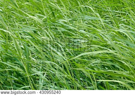 Green Grass Sways In The Field In Summer