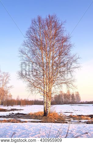 Spring Morning In The Field. A Birch Tree With Bare Branches On A Snow-covered Field In The Morning