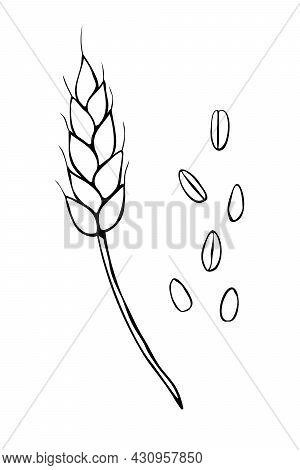 Vector Outline Spikelet Of Wheat And Grains Isolated On White Background. Hand Drawn Contour Clipart