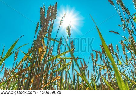 Growing Grain Crops In A Field Or Meadow.wheat Ears Are Swaying In The Wind Against The Background O