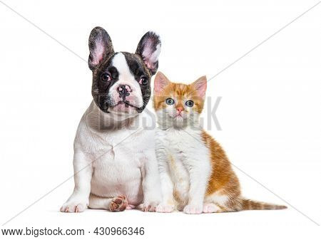 puppy french bulldog and kitten crossbred cat, cat and dog, sitting, isolated
