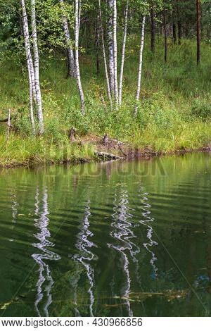 Birch Trees On The Shore Of The Pond. Reflection Of Birches In The Water. The Sun Illuminates The Sh
