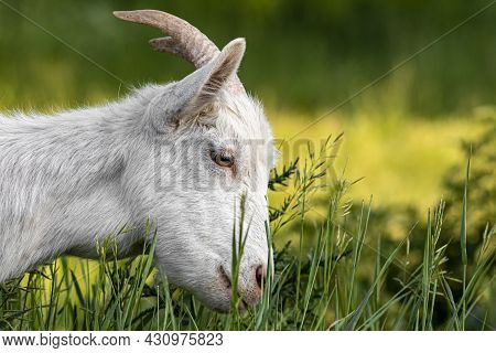 Goat On Green Summer Meadow. Side View. Outdoors, Day Light Rural Scene