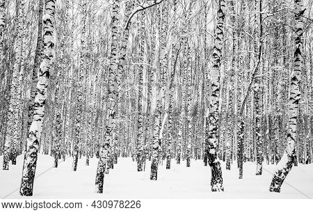 February Winter Birch Trees With Snow-covered Branches And Trunks Black And White