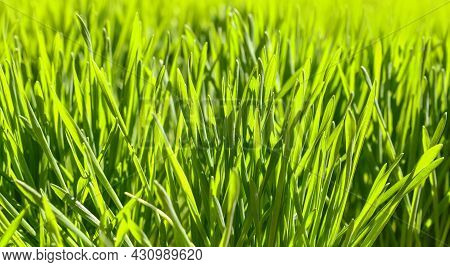 Close Up Backlit Fresh Green Spring Grass Background, Low Angle View, Selective Focus