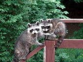 Lovely pair of raccoons resting and starring on a deck during the day poster
